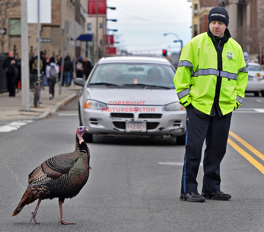 Boston police officer Shawn McCarthy makes sure one of four turkeys, that strutted for hours around Longwood avenue, crosses the street safely yesterday.