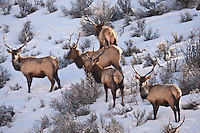 A group of small bull elk January 2017 forage a hillside in the northern Utah Mountains in the winter it's not uncommon to see bulls grouped together in the winter snow.