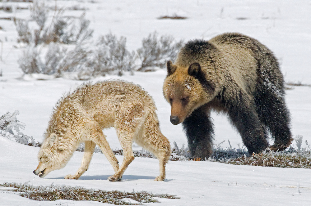 The coyote's posturing and growling does not deter the young grizzly as he continues his pursuit of his new-found friend.