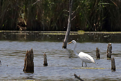 Great White Egret - Ardea alba
