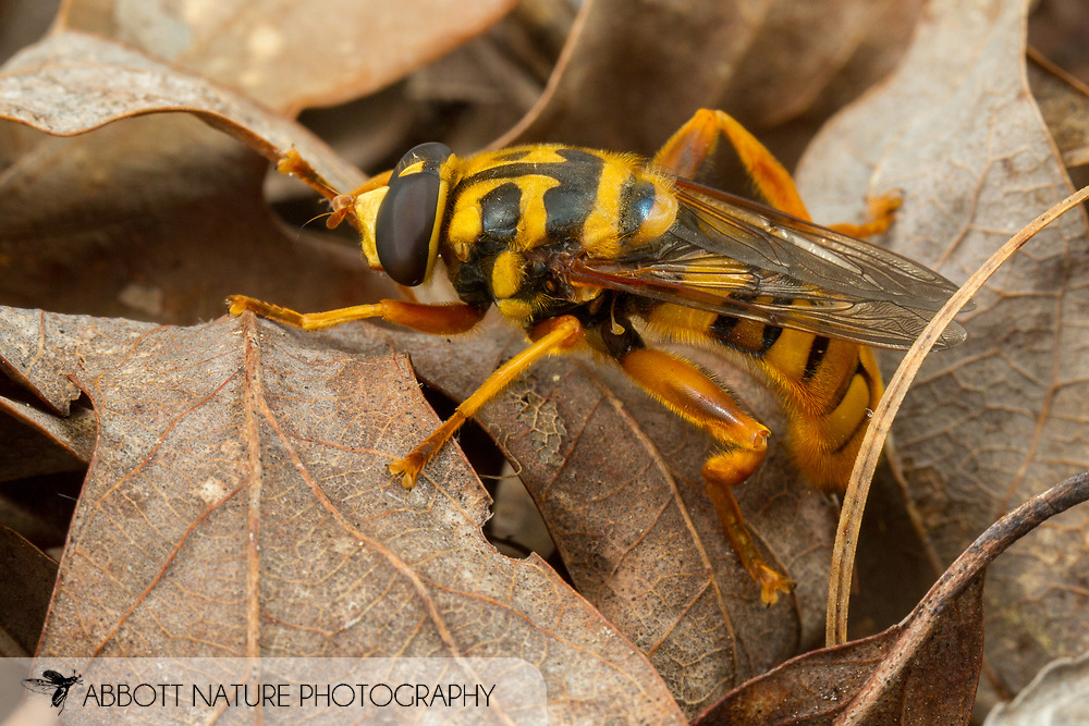 Yellowjacket Hover Fly (Milesia virginiensis)<br /> ALABAMA: Tuscaloosa Co.<br /> Tulip Tree Springs off Echola Rd.; Elrod<br /> 24-May-2016<br /> J.C. Abbott #2818 &amp; K.K. Abbott