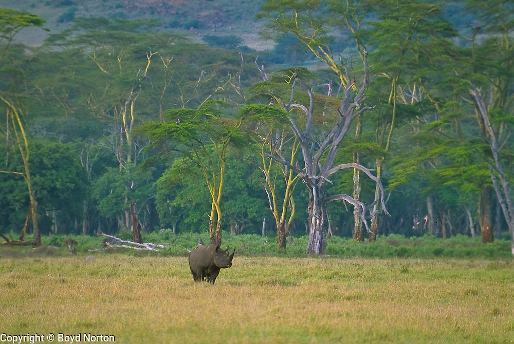 Black rhino, Lerai Forest, Ngorongoro Conservation Area, Tanzania. Black rhino, one of only about 60 in the 10,000 square mile Serengeti ecosystem; critically endangered; poaching is rampant. Once numbered in the thousands here.