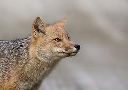Andean Fox (Lycalopex culpaeus) in Tierra del Fuego, Argentina