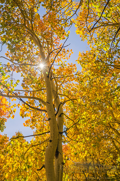 Aspen trees in fall, Dunderberg Meadow, Humboldt-Toiyabe National Forest, Mono County, Eastern Sierra, California