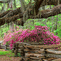 Beautiful azalea blossoms line the zigzag fence and live oak trees of Magnolia Plantation, in Charleston, SC.