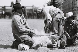 Cowboys branding calf