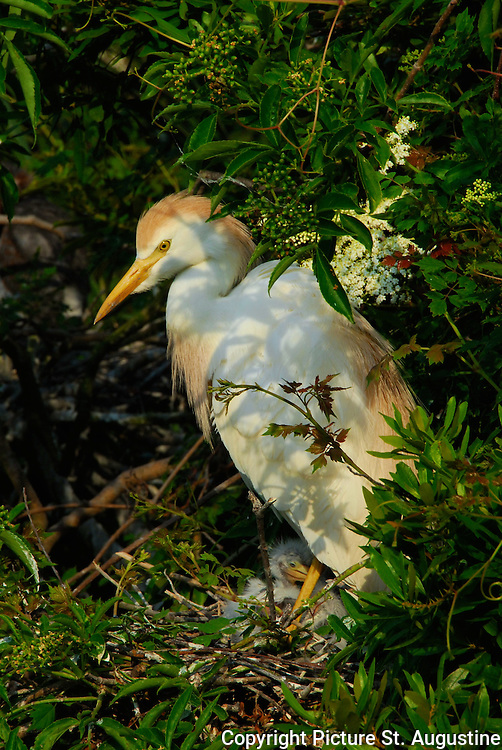 A mother Cattle Egret watches over her chicks in St. Augustine, Florida