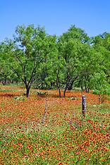 Wildflowers - Texas