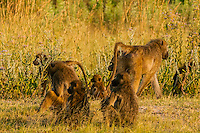 Troop of baboons, Kwando Concession, Linyanti Marshes, Botswana.