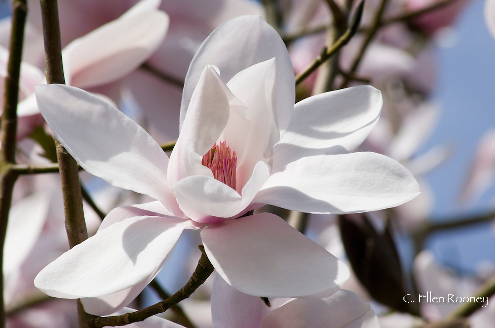 Magnolia sargentiana 'Robusta' in The National Magnolia Collection at<br />