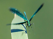 A male Beautiful Demoiselle Damselfly (Calopteryx virgo) shimmers with metallic blue-green color. Plitvice Lakes National Park (Nacionalni park Plitvicka jezera, in Croatia, Europe) was founded in 1949 and is honored by UNESCO as World Heritage Site. Waters flowing over limestone, dolomite, and chalk in this karstic landscape have, over thousands of years, deposited travertine barriers, creating natural dams, beautiful lakes and waterfalls. Warming conditions after the last Ice Age (less than 12,000 years ago) allowed the natural dams to form from tufa (calcium carbonate) and chalk depositing in layers, bound by plants. Plitvicka Jezera is a municipality of Lika-Senj County, in the Republic of Croatia.