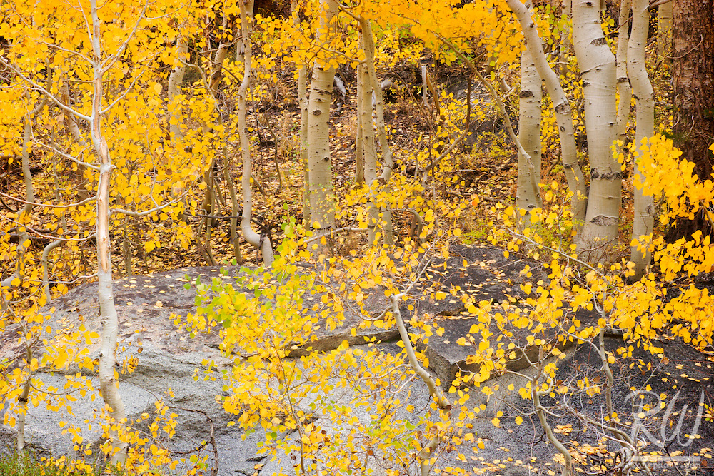 Fall Foliage on Aspen Trees, South Fork Bishop Creek, Inyo National Forest, California