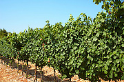 Israel, Judea Hills, Tzora winery and vineyards. A plot of Gewurtzstraminer grapes planted in terra cotta near Shoresh June 2007, 6 weeks before harvest