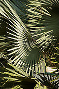 Palm leaves, Belize