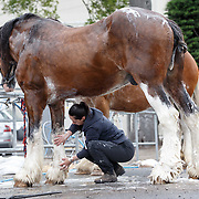 The Royal Highland Show, Scotland's annual farming and countryside showcase, organised by the Royal Highland and Agricultural Society of Scotland. Michelle Mayberry washes 'Poacher', a Clydesdale from Campbeltown.<br /> <br /> Wednesday, June 21, 2017