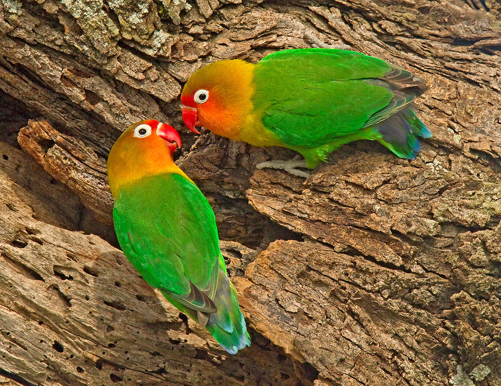 Fischer's Lovebirds, Agapornis fischeri in courtship behavior, Serengeti National Park.
