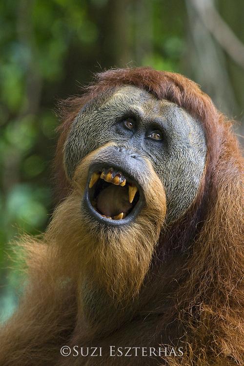 Sumatran Orangutan<br /> Pongo abelii<br /> Dominant adult male showing teeth<br /> North Sumatra, Indonesia<br /> *Critically Endangered