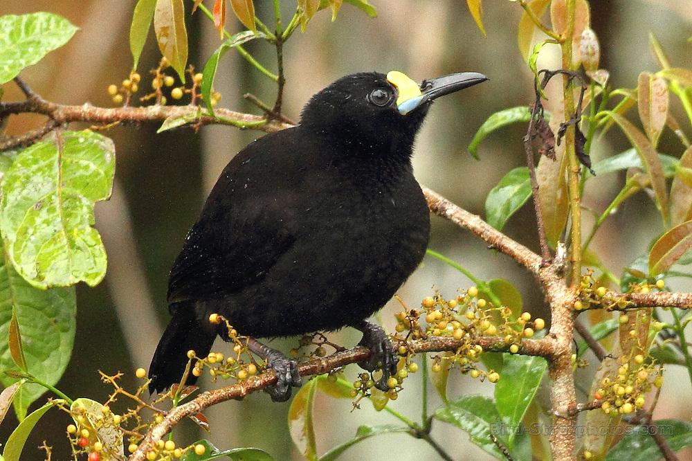 Short-tailed Paradigalla, Paradigalla brevicauda, Papua New Guinea, by Markus Lilje