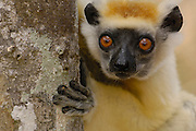 Golden-crowned Sifaka (Propithecus tattersalli) peeking around tree trunk, critically endangered, Daraina, northeast Madagascar