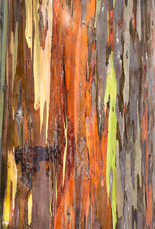Closeup of Rainbow Eucalyptus (Eucalyptus deglupta) near Kona on the Big Island, Hawaii. Winter. Afternoon.