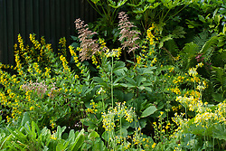 Yellow themed border with Rodgersia, Mimulus guttatus, Primula florindae (Giant cowslip) and Lysimachia punctata (Loosestrife). Black painted shed