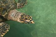Green Sea Turtle (Chelonia mydas) Oceanarium, San Martin de Pajarales island, Rosario islands, Cartagena de Indias, Colombia, South America
