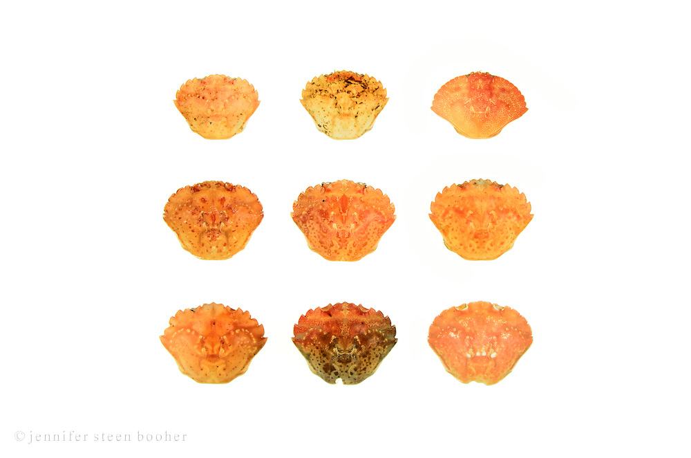 Nine crab shells on a white background.