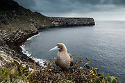 Red-footed Booby (Sula sula websteri)<br /> Wolf Island<br /> GALAPAGOS ISLANDS<br /> ECUADOR.  South America<br /> They are found in only 5 main colonies in the islands. Always situated on the outer islands, close to deep, oceanic water - their preferred feeding area. Although the most numerous booby in Galapagos (140,000 pairs in Genovesa) the species is not often seen unless an actual coloney is visited. Red-footed boobies are the smallest of the boobies and as they can feed hundred's of miles offshore only manage to bring back enough food to raize one chick. They are the only booby with prehensile feet and nest in trees and bushes rather than on the gound as the Blue-foots and Nazca booby do.