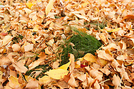 A colorful carpet of Ash leaves