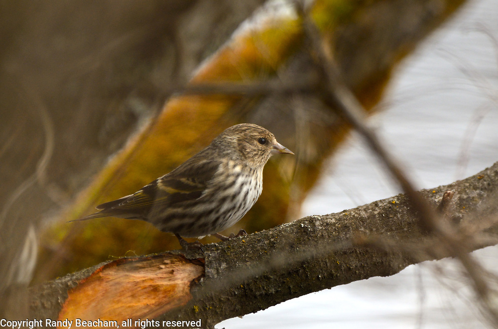 Pine siskin in the Upper Ford wetlands along the Yaak River in spring. Yaak Valley in the Purcell Mountains, northwest Montana.