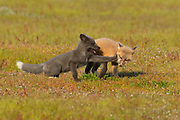 A pair of young red fox kits (Vulpes vulpes) play tag in San Juan Island National Historical Park in Washington state. While red foxes are widespread, found across much of the Northern Hemisphere, they were introduced to San Juan Island in the early 1900s in an attempt to control the population of European rabbits, which were also introduced to the island.