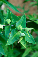CAPER SPURGE Euphorbia lathyris (Euphorbiaceae) Height to 1.5m. Upright, grey-green biennial of woodland and hedgerows. FLOWERS are fresh green with elongated, heart-shaped bracts (petals and sepals are absent); borne in open clusters (Jun-Jul). FRUITS are 15-17mm across, green, 3-sided and caper-like. LEAVES are narrow and borne in opposite pairs. STATUS-Doubtfully native; often naturalised in S.