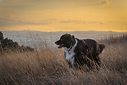 Border Collie dog stands in a field overlooking an urban valley at sunset.