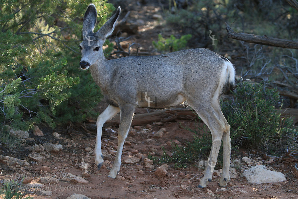 Mule deer in morning light in forest at Mather Point; Grand Canyon National Park, Arizona.