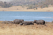 A herd of hippo laze in the winter sun to warm up