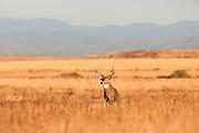Whitetail buck in prairie grasslands habitat