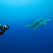 Horizontal shot shows an underwater photographer taking pictures of bottlenose dolphins (Tursiops truncatus) in Gladden Spit and Silk Cayes Marine Reserve, off the coast of Placencia, Stann Creek, Belize