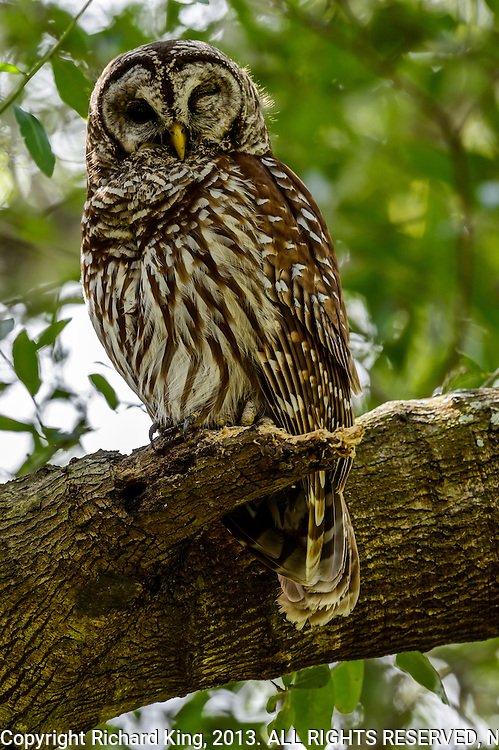 Adult Barred Owl (Strix varia) keeping a watchful eye on her three fledgelings.