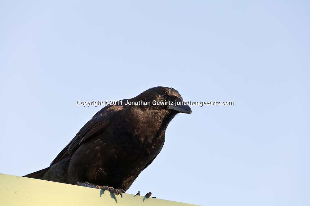 A blackbird or crow perches on the edge of a roof. WATERMARKS WILL NOT APPEAR ON PRINTS OR LICENSED IMAGES.