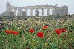 Africa, Morocco, near Meknes, Red poppies in front of ruins of basilica in ancient Roman city of Volubilis (2nd. century), in fog