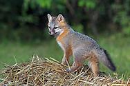 Gray Fox Pup in Habitat