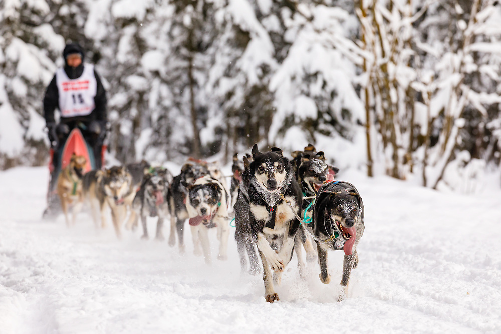 Musher Dave Turner competing in the Fur Rendezvous World Sled Dog Championships at Goose Lake Park in Anchorage in Southcentral Alaska. Winter. Afternoon.