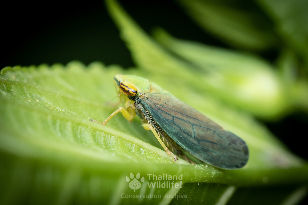 A leafhopper is the common name for any species from the family Cicadellidae. These minute insects, colloquially known as hoppers, are plant feeders that suck plant sap from grass, shrubs, or trees. Their hind legs are modified for jumping, and are covered with hairs that facilitate the spreading of a secretion over their bodies that acts as a water repellent and carrier of pheromones.
