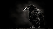 A crow raised from a hatchling returns to sit on a fence and have it's profile captured.  Black and white low key.