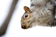 Minnesota, USA, Minneapolis, North American red squirrel at Loring Park  November 2006