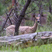 The white-tailed deer Odocoileus virginianusis found in the conifer forests of the Black Hills. Custer State Park is a state park and wildlife reserve in the Black Hills of southwestern South Dakota. The park is South Dakota's largest and first state park, named after Lt. Colonel George Armstrong Custer.   Photography by Jose More