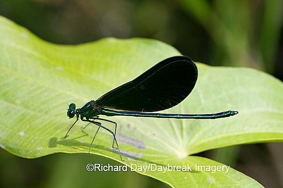 06014-001.04 Ebony Jewelwing (Calopteryx maculata) male, Lawrence Co. IL