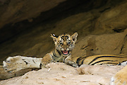 Bengal Tiger<br /> Panthera tigris <br /> 5 week old cub on mother at den<br /> Bandhavgarh National Park, India
