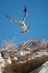 An osprey in flight on the Kimberley coast.