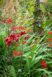 Lilium 'Red Flavour' with Crocosmia 'Lucifer'. <br /> Ipomoea lobata syn. Mina lobata (Spanish flag) in the background